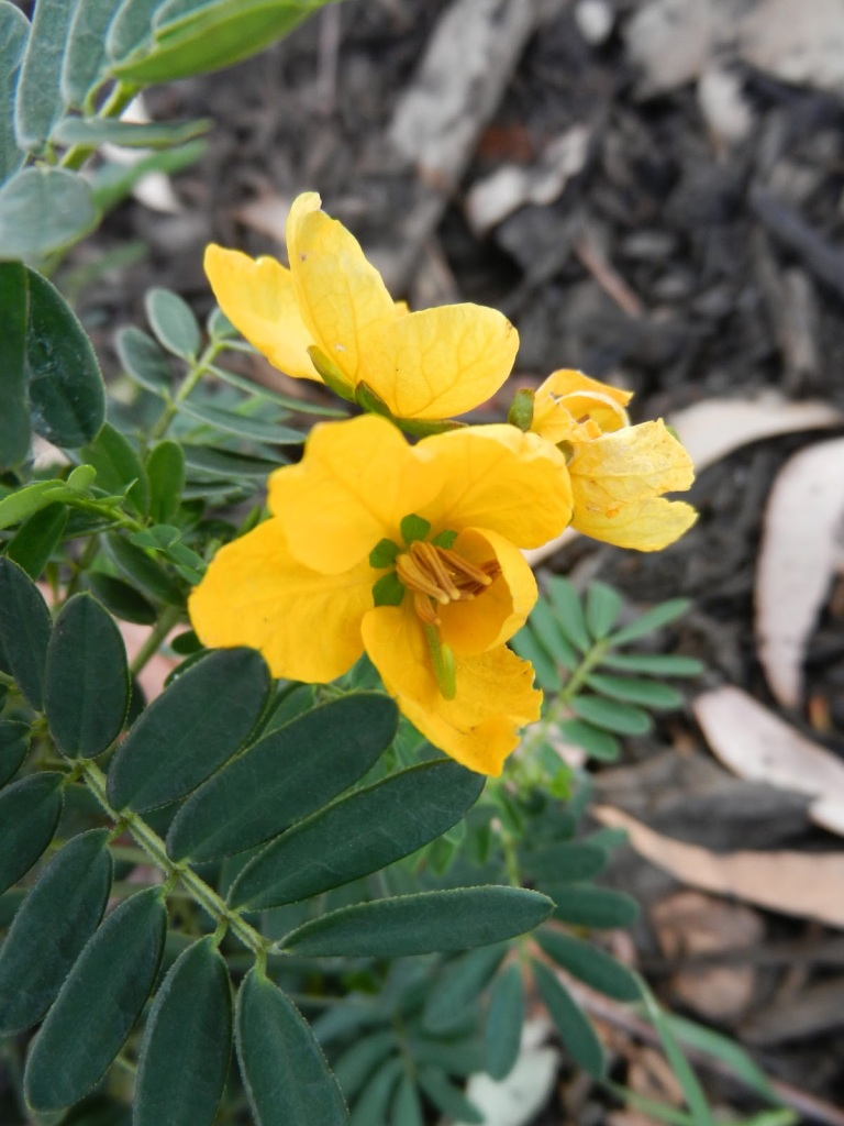 Native Legume - Regeneration Plant