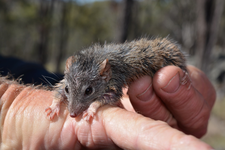 20131127 Yellow footed Antechinus