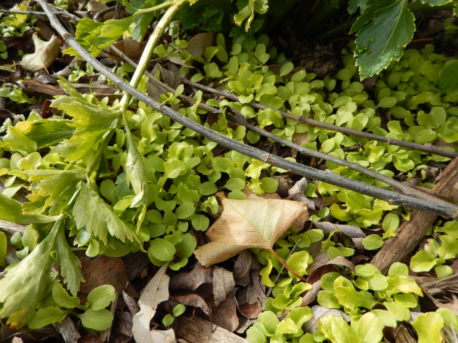 New Growth in the waterless garden - self seeded