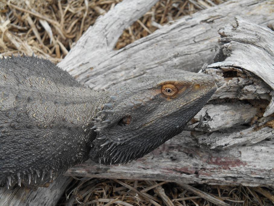 Lizard, Reptile Heaven