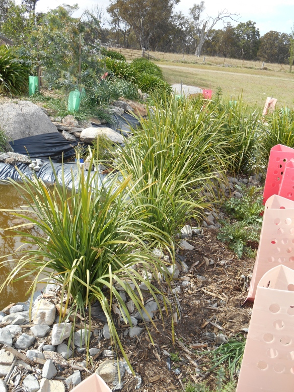 Reptile Heaven, 11 months on, Lomandra grass