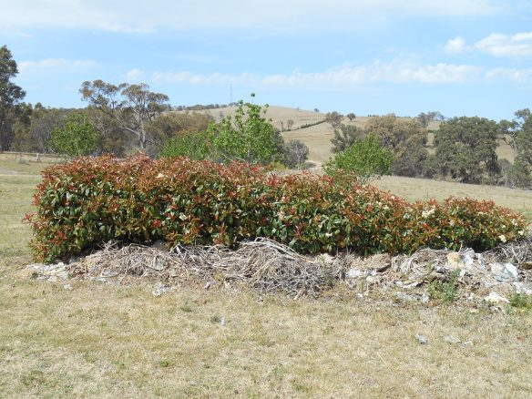 Reptile Heaven, 11 months on, The hedge that was dying is now flourishing with the mulch put next to it