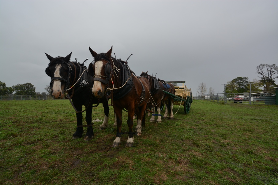 Trooper, Bounce, Captain & Campfire pulling wagon