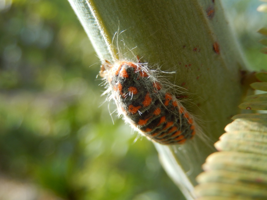 We think this is a type of Mealy Bug, not sure of it's exact species. as yet unidentified properly.