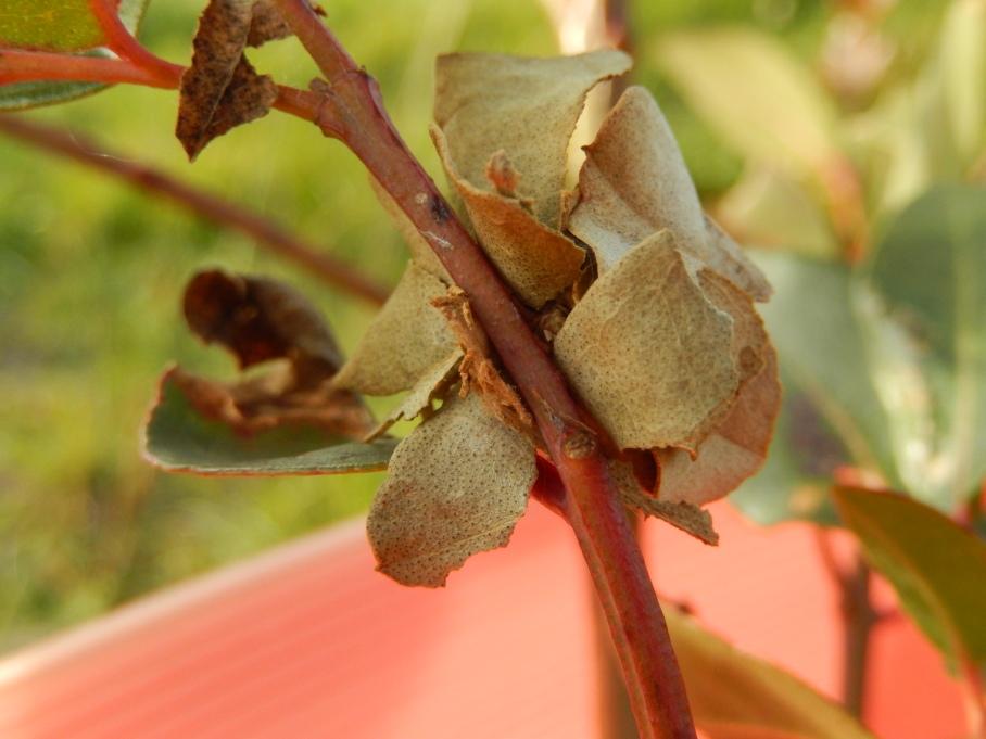 20140509 Leaf Skirt caterpillar or the 'hermit crab caterpillar'