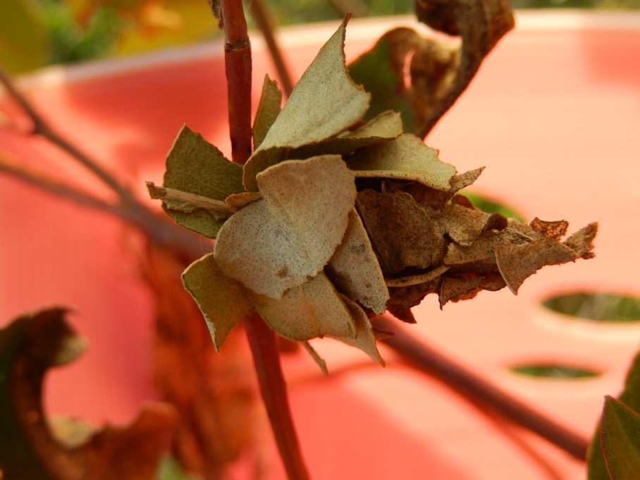 The caterpillar house like a beautiful rosebud or flower bud, or shell.