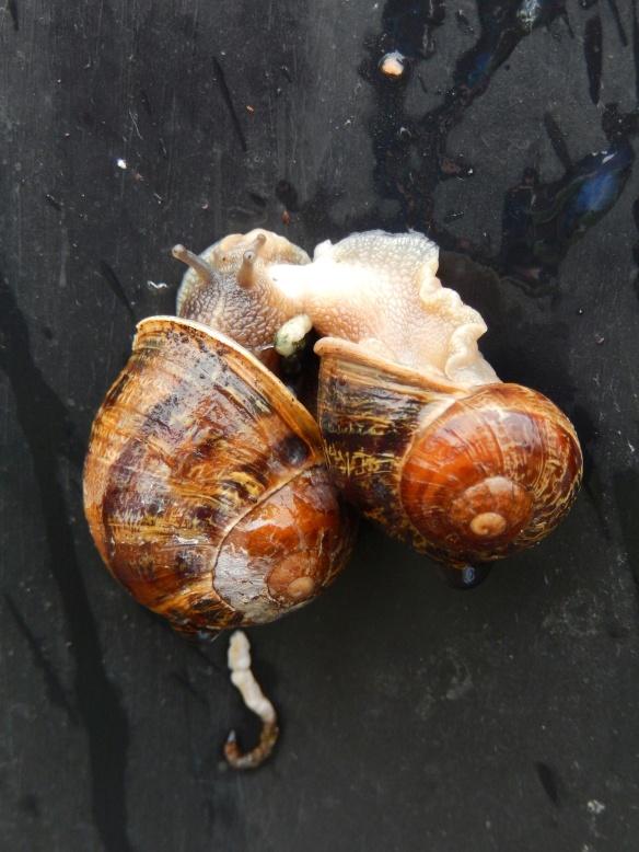 20140327 snail sex