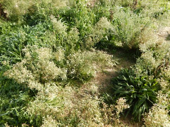 fleabane, plantain and other ground covers