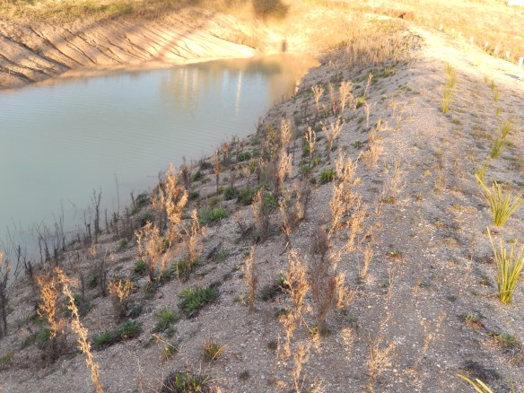 20140828 pioneer plants on the inner wall of the dam bank with dead fleabane that will become mulch and in time soil