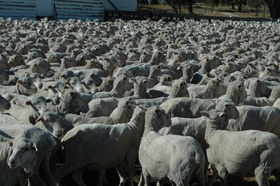 2014 Sheep mob in the yards for sorting