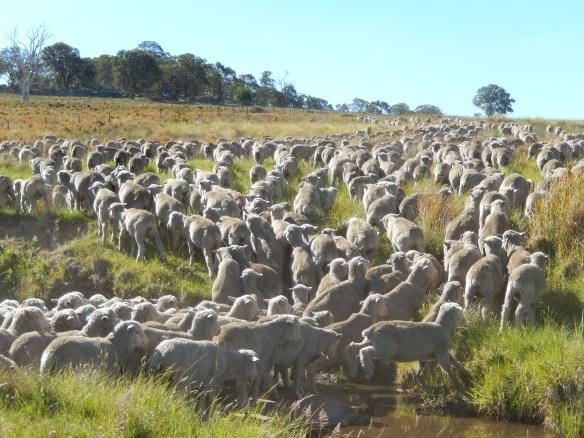 2013 sheep crossing Spring Creek