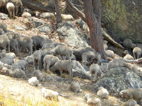 2014 Sheep keeping cool in heat of the day